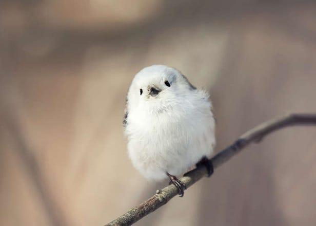 想看还不一定能找到!北海道10种可爱的当地动物
