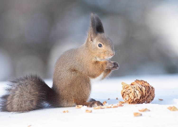 1. Ezo red squirrel: Comes with a pair of charming long ears