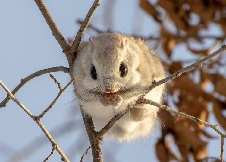8. Ezo momonga flying squirrel: Large round eyes are its hallmark
