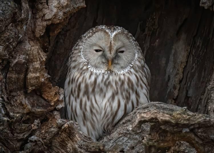 9. Ezo Ural owl: Night hunter that uses sound to catch prey