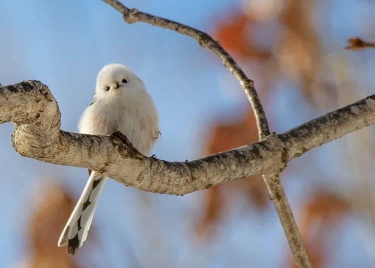 3)シマエナガ:まるで雪の妖精のような愛らしさ
