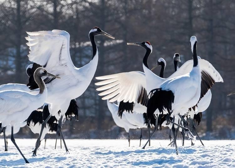 5)タンチョウ:雪原に立つ優雅な野鳥