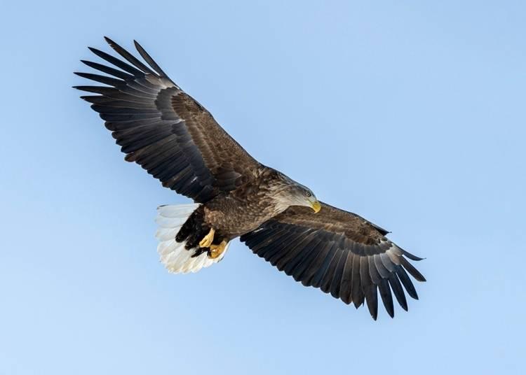 7)オジロワシ:流氷とともに訪れる渡り鳥