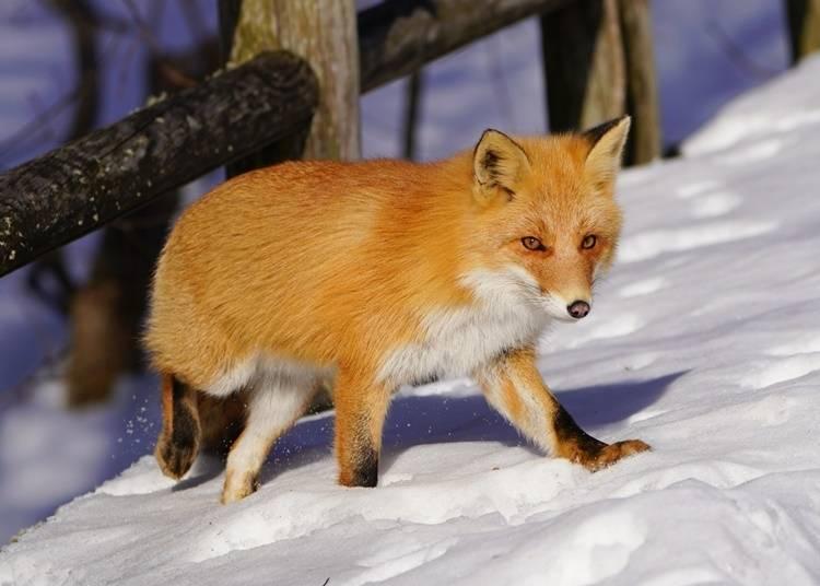 4) 기타기츠네(북극 여우) : 북쪽의 나라를 상징하는 동물