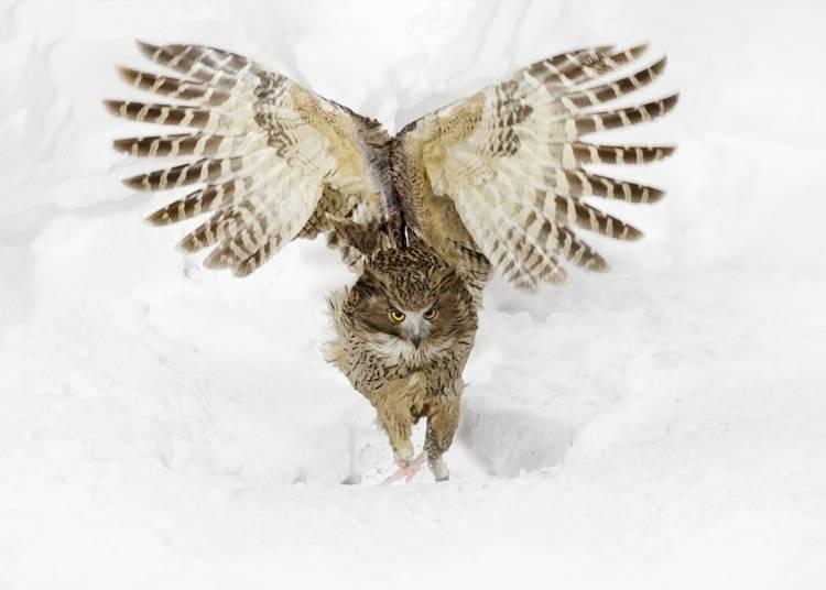 10)毛腿漁鴞:北海道的守護神