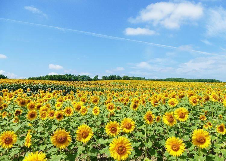 6. Hokuryu Sunflower Village: Slopes upon slopes of cheerful yellow!