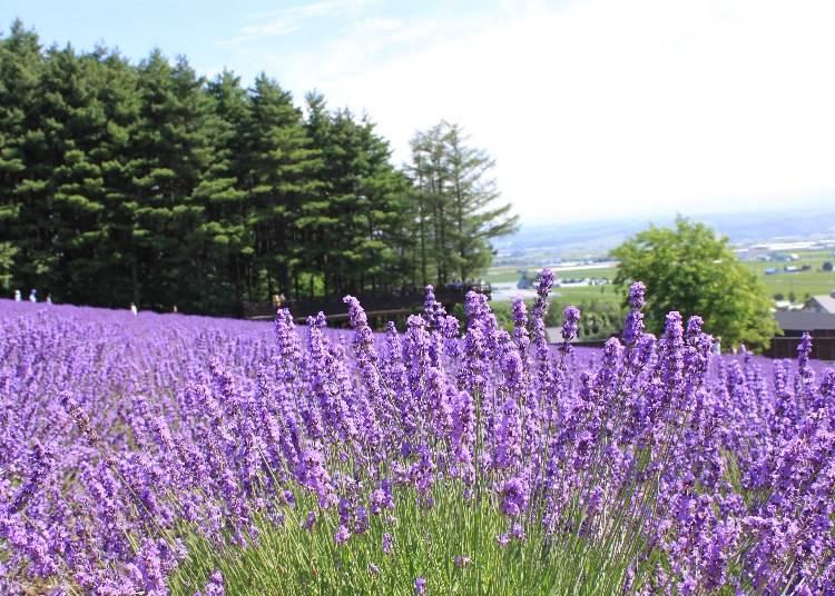 5)一面の紫が圧巻!「富良野エリアのラベンダー畑」