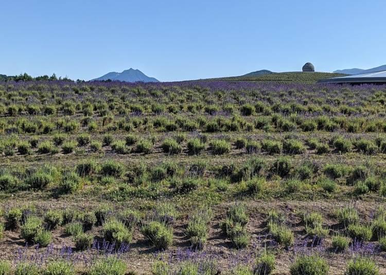 Enjoy the Unusual View of a Buddha Head Peeking Over Fields of Lavender