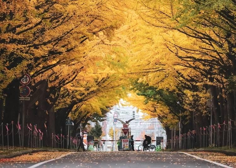 3.北海道大学とともに歴史を歩む「北13条通りのイチョウ並木」