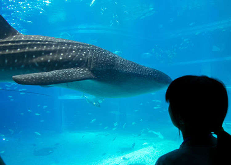 Enjoy a Full Day at Osaka Aquarium Kaiyukan! Whale Shark Feeding and Guided Tour