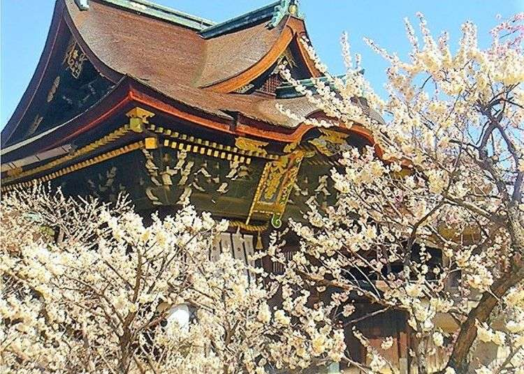 Kyoyo's Kitano Tenmangu Shrine: Enjoy a stroll among the spring plum blossoms