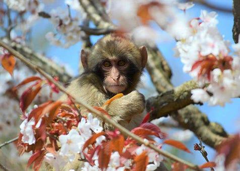可以一覽整個京都市區!嵐山猴子樂園岩田山  讓我們在這個絕景的猴子山上,和可愛的猴子們一起嬉戲吧!