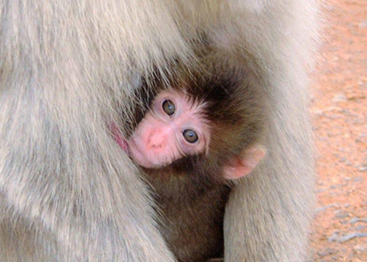 從春到夏是生育的季節!這個時候來或許可以看到可愛的猴子寶寶喔