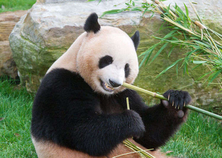Adventure World Japan: Safari Tours and more - nowhere else in Japan can you get this close to pandas and other wildlife!