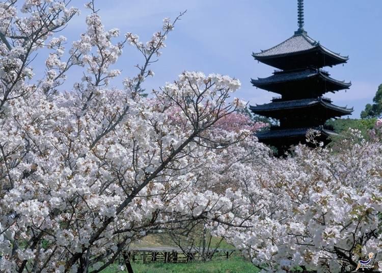 京都必去⑬仁和寺