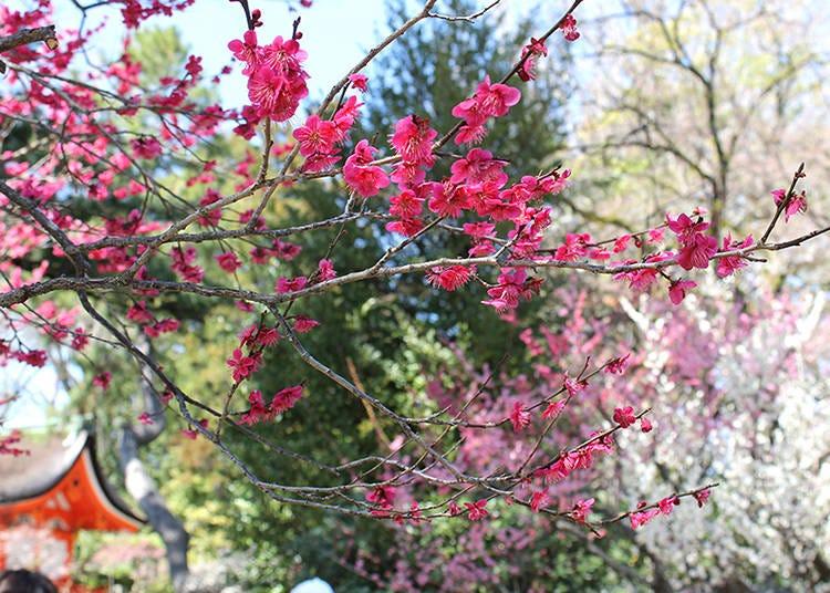 梅花の下で芸舞妓のお手前を「梅花祭」