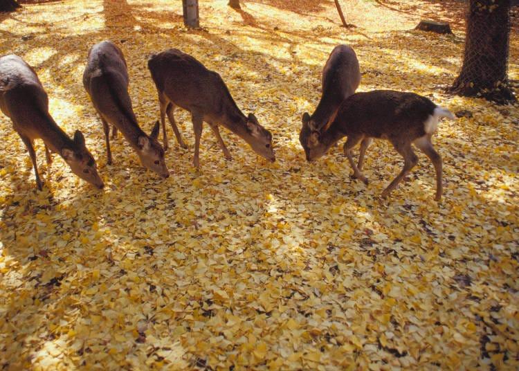 奈良賞楓葉景點①可同時看到「鹿和楓葉」的「奈良公園」
