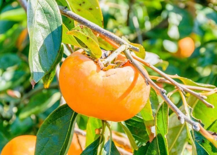 和歌山自由行必吃美食①一年四季都可以享用到「當季水果」!