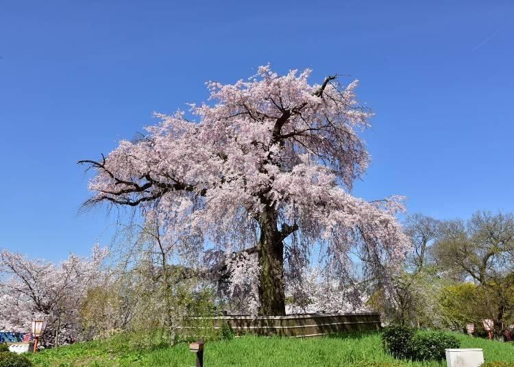 6. Maruyama Koen: Celebrating the Sakura Trees of Gion