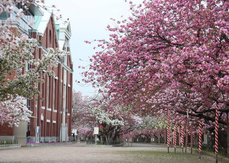1:560mの通り道「造幣局 桜の通り抜け」