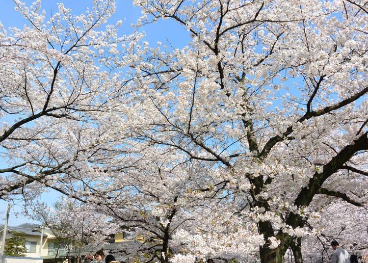 5:桜のトンネルを満喫「哲学の道」
