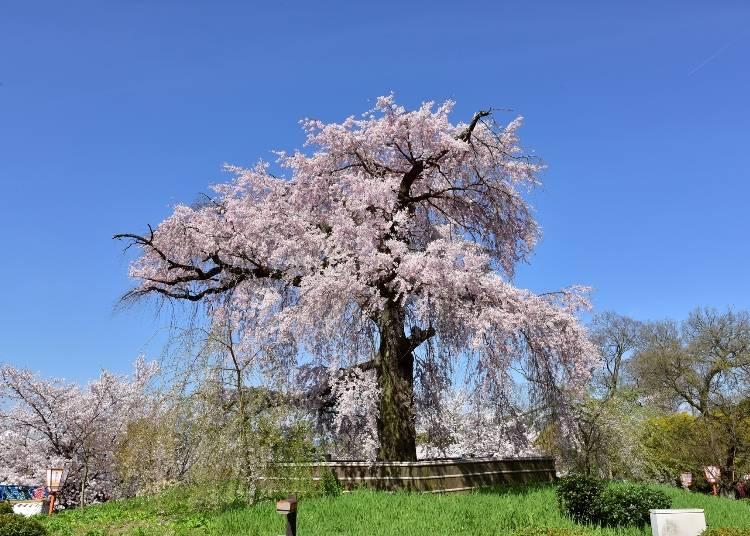 6:祇園の桜を愛でる「円山公園」