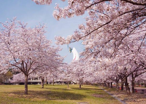 4 : 약 5,500그루의 벚꽃이 화려하게 피어나는 '만박 기념 공원'