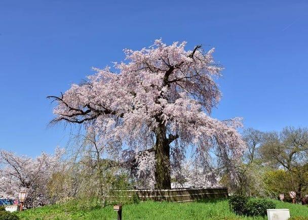 6: 기온의 벚꽃을 즐기는 '마루야마 공원'