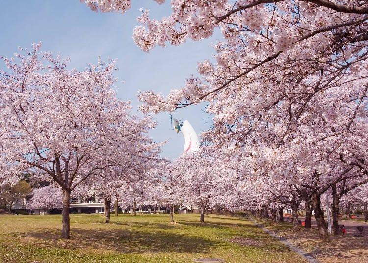 4. 約5,500棵櫻花樹恣意綻放的「萬博紀念公園」