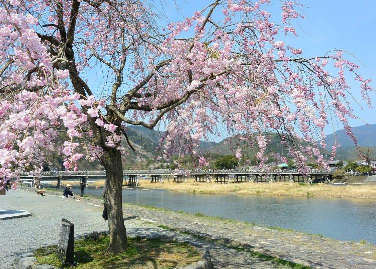 7. 京都的原始風景和櫻花融為一體「嵐山」