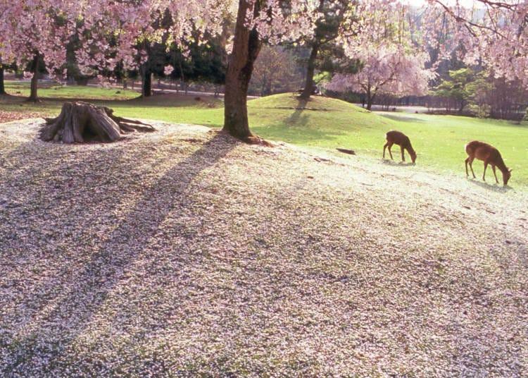 8. 櫻花與鹿形成的雅緻風景「奈良公園」