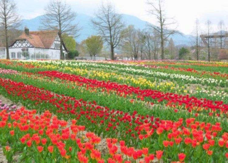 시가현에서 가볼만한 인기 관광 명소, '블루메의 언덕'의 꽃밭은 죽기 전에 꼭 한번 봐야할 절경!