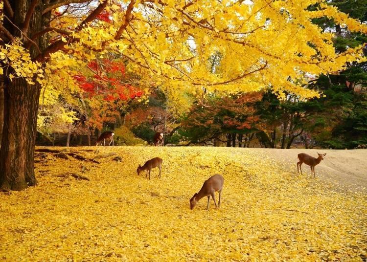 7. (Nara) Nara Park: Enjoy Autumn Leaves in Japan with Deer!