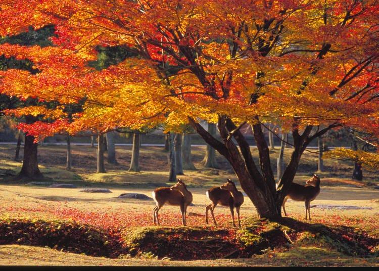 Day 3: Major sightseeing hotspots in the ancient city of Nara  (Tōdaiji ➡ Kasuga Taisha ➡ Kōfukuji)