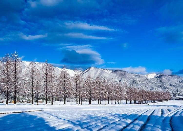 5. Metasequoia Namiki: Like snow flowers in winter (Shiga)