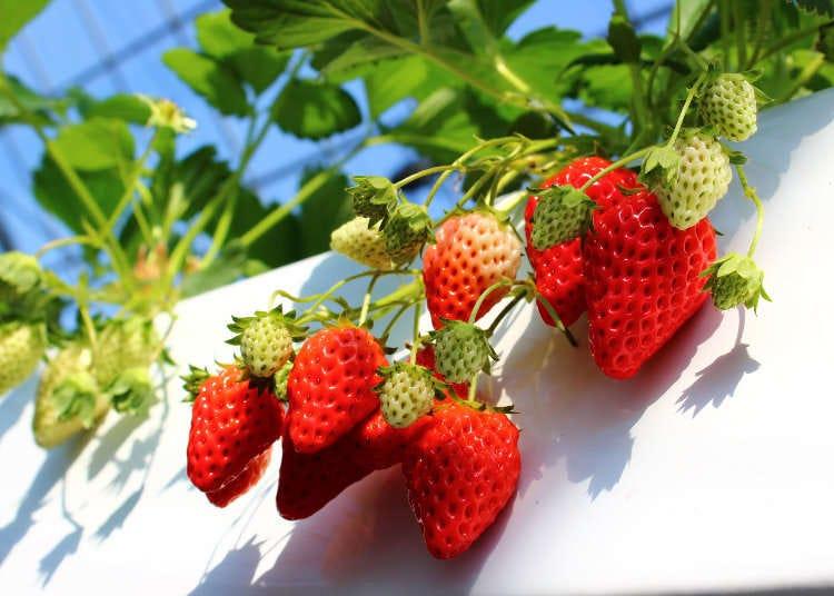 간사이 지역(오사카, 시가현, 나라현, 와카야마현,효고현)의 딸기농장 10곳(정해진 시간내에 무제한 먹기 체험 가능!)