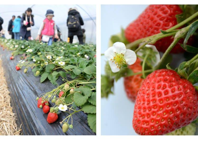 7. Kishigawa Tourism Strawberry Hunting Association (Wakayama): All-You-Can-Eat Strawberry Picking with No Time Limit!