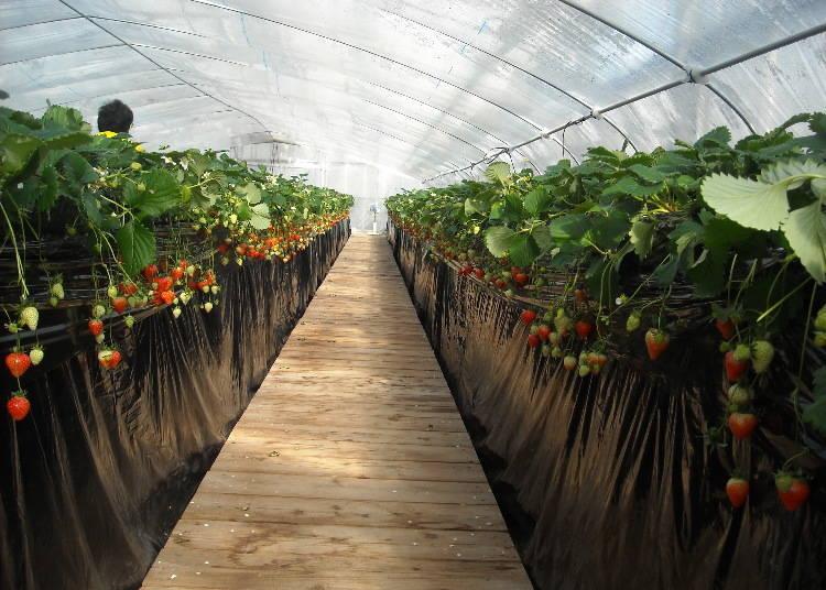6. 농업공원 시기산 노도카무라- 나라의 브랜드 딸기를 비롯한 제철 딸기를 30분 무제한 시식 [나라]