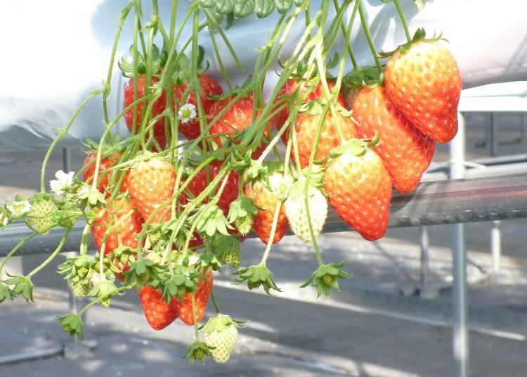 9. 아다미 고원 팜- 겨울부터 봄에는 딸기 체험, 여름은 바비큐와 애슬래틱, 즐길거리가 가득해! [나라]