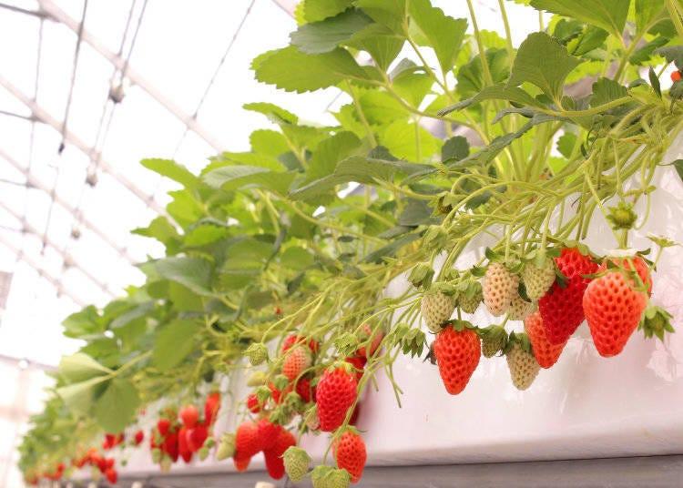 2. 大阪出發約25分鐘!新鮮草莓「章姬」30分鐘吃到飽【大阪】(2021年行程未定)