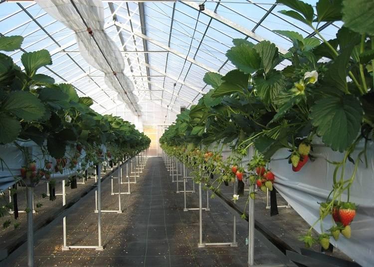 5. 在「下村梅園」享受奈良的草莓品種「飛鳥寶石」、「古都華」30分鐘吃到飽【奈良】