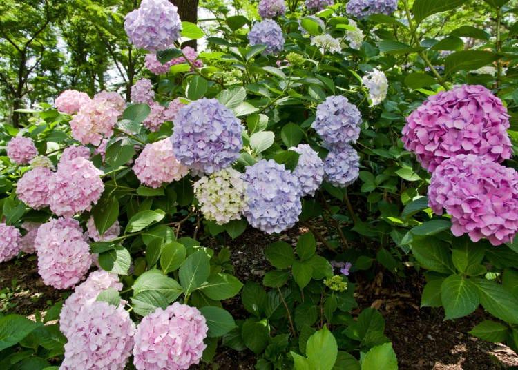 ■교토의 6월 날씨