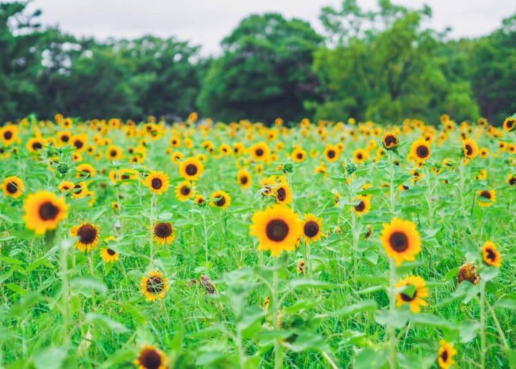 ■교토의 8월 날씨