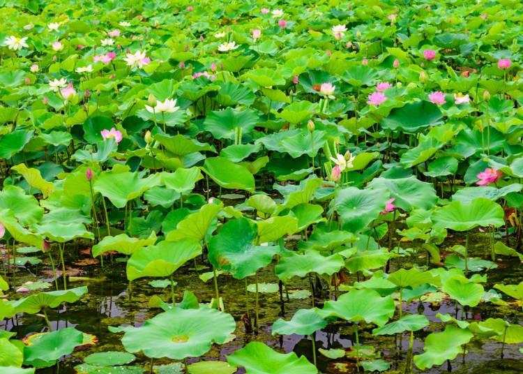 京都7月天氣概況:漸漸迎接夏天的來臨