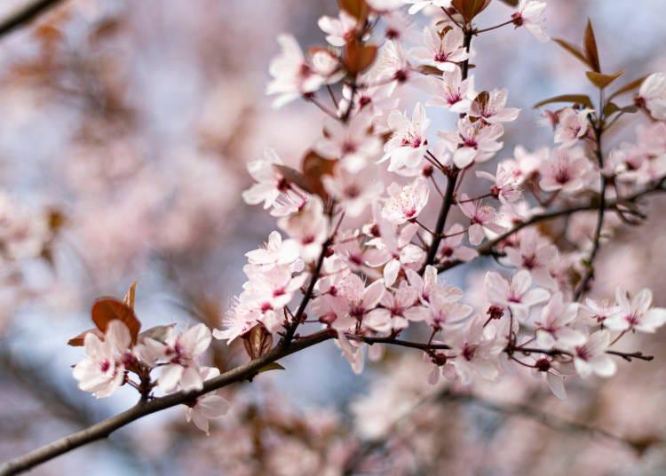 神戶4月天氣:櫻花綻放