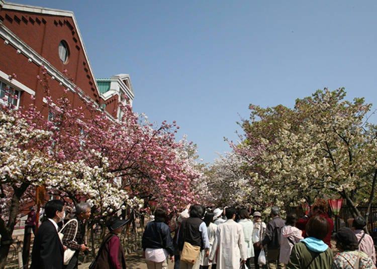 2. Japan Mint: Famous for sakura, enjoy various types of cherry blossoms in Osaka!