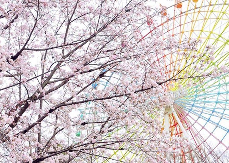 6. Hirakata Park: Stroll through the cherry blossoms in Osaka!