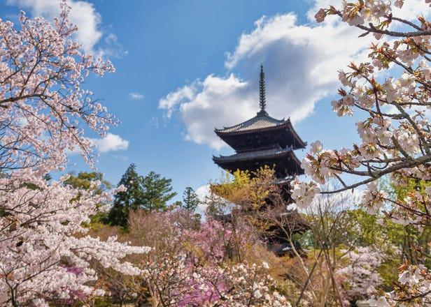 교토의 벚꽃명소 총정리 10선! 아라시야마와 닌나지 등 꽃놀이 명소와 절정기를 소개!