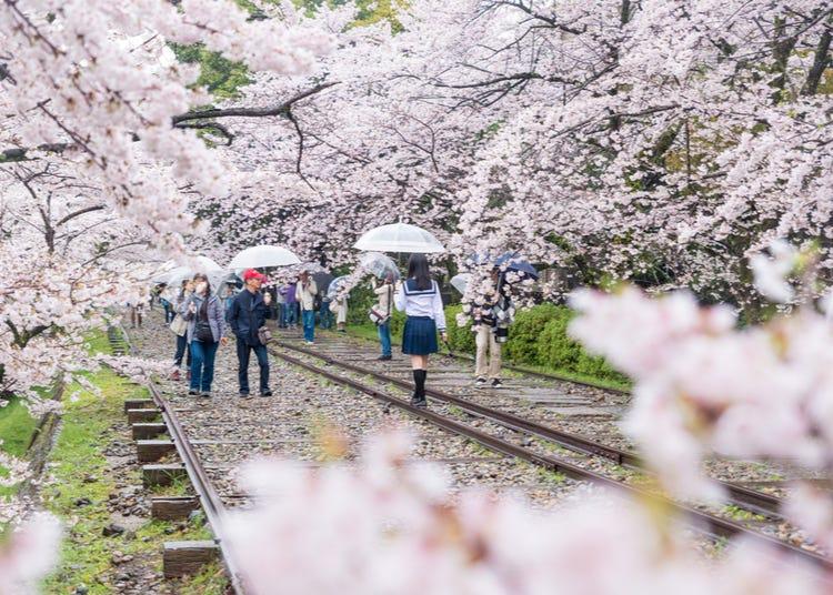 10 Best Kyoto Cherry Blossom Spots: When To See Them & Sakura Festival Dates