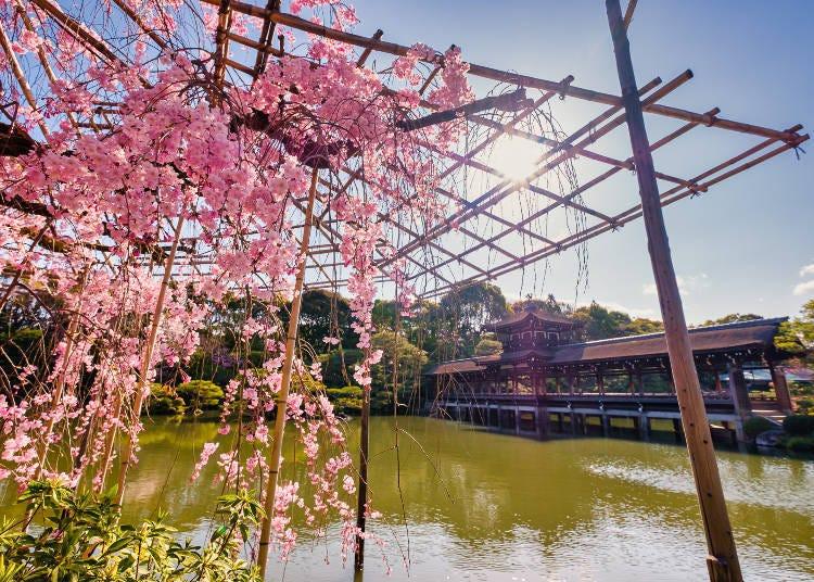 6. Heian Jingu Shrine: Fascinating Yaebeni Shidarezakura